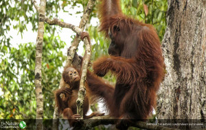 Orangutan bersama anaknya di Tanjung Puting National Park di Borneo, Foto: The Nature Conservancy (Katie Hawk).